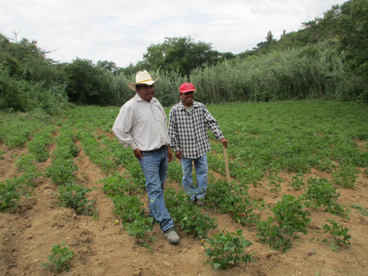 Eleuterio and Pedro stand in the middle of an agroforestry plot in Coatecas Altas.