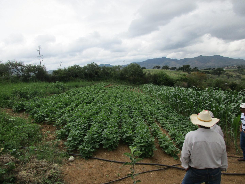 Eleuterio surveys his agriculture.