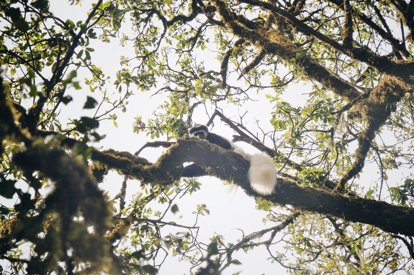 A monkey living in the trees of Mount Kilimanjaro.